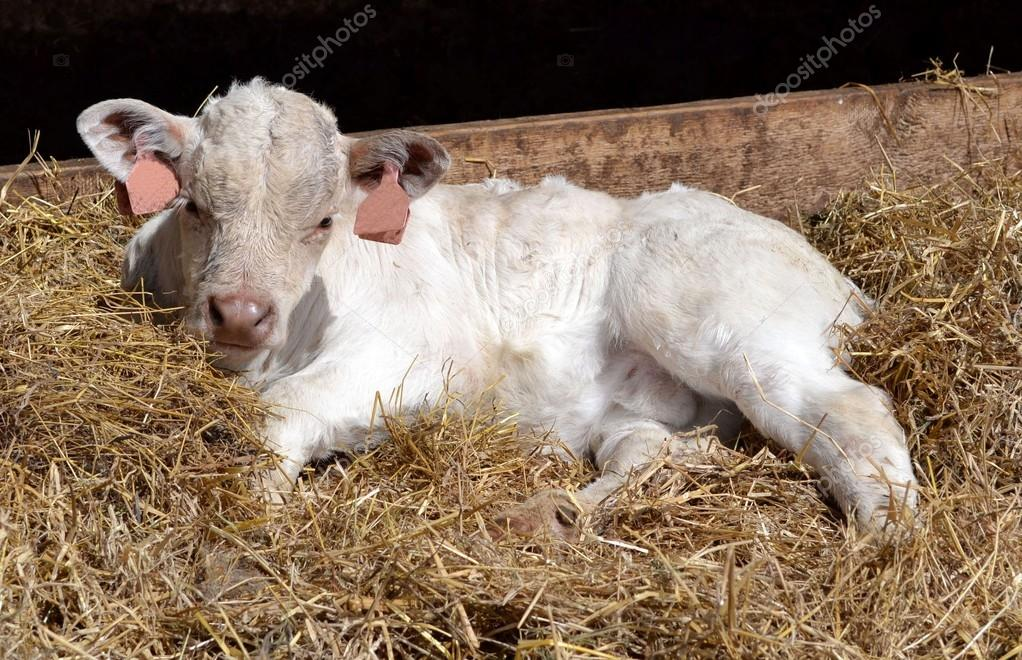 depositphotos_68788493-stock-photo-calf-in-a-bed-of